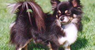 صورة كلاب شيواوا