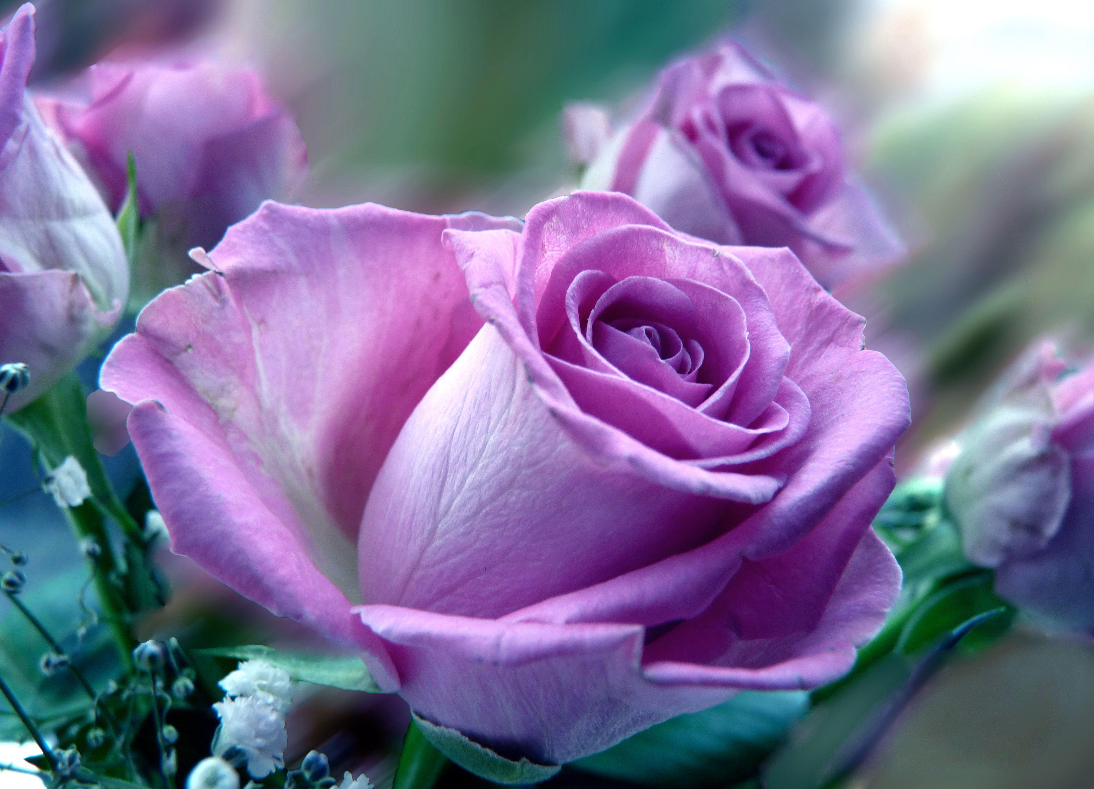 بالصور اجمل صورة وردة , ورود جميله هديه لحبيبتك 42871 5