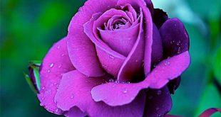 صورة اجمل صورة وردة , ورود جميله هديه لحبيبتك