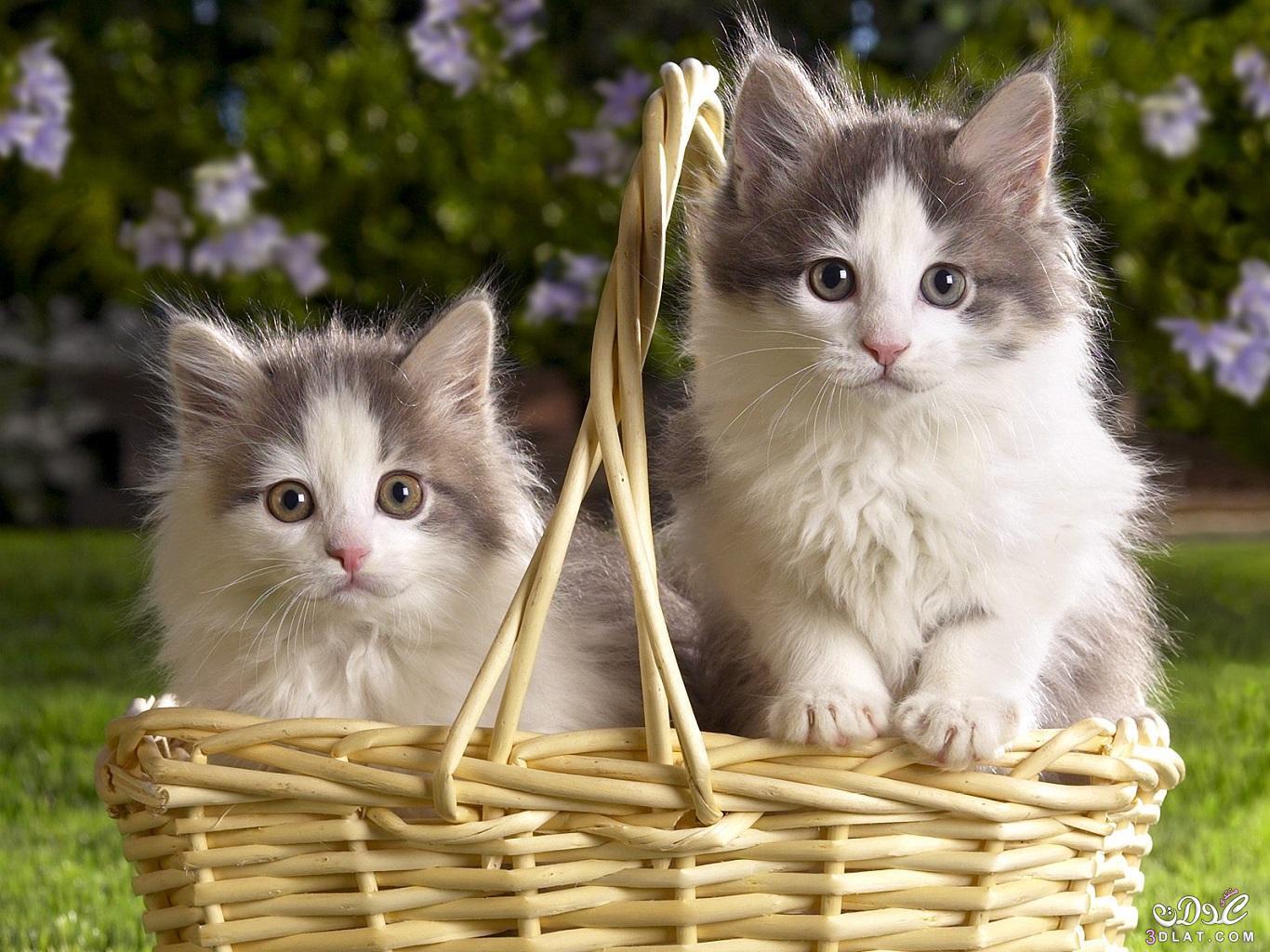 بالصور اجمل واروع القطط صور , قطط كيوت في العالم 42888 10