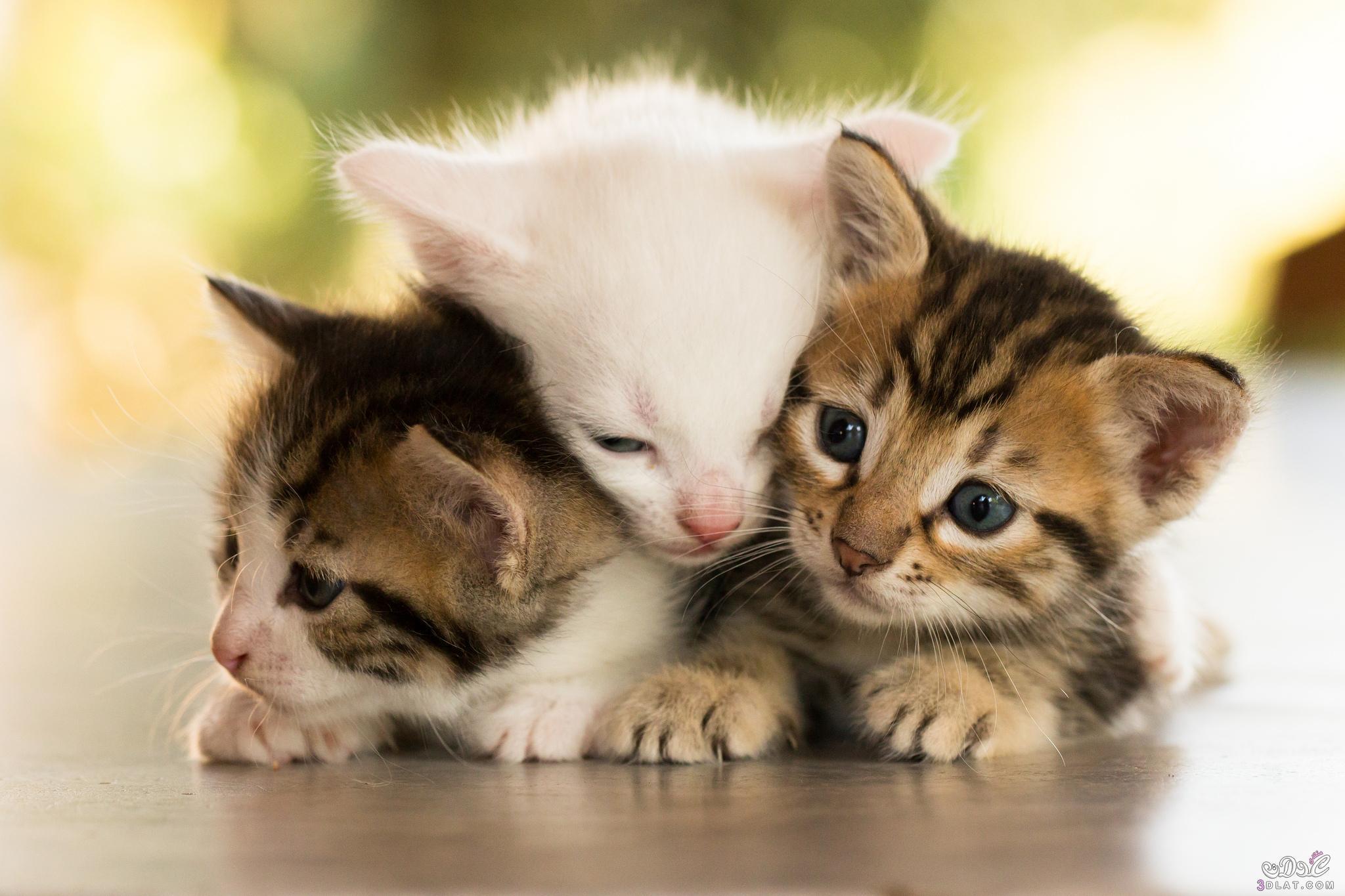 بالصور اجمل واروع القطط صور , قطط كيوت في العالم 42888 6